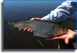 Fly-fishing for shad on the St. Johns River
